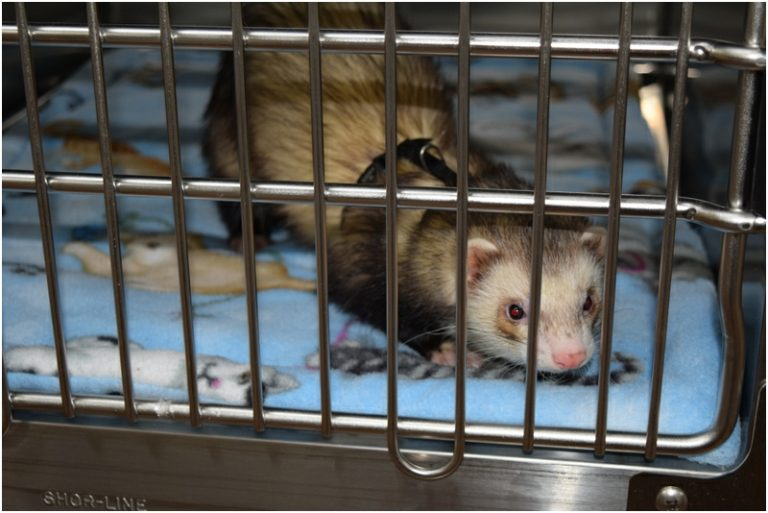 A ferret in our cat ward!