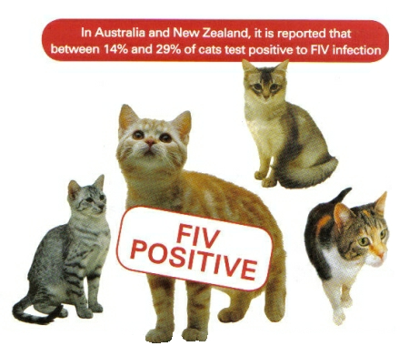 Curtin Veterinary Clinic Feline Immunodeficiency Virus